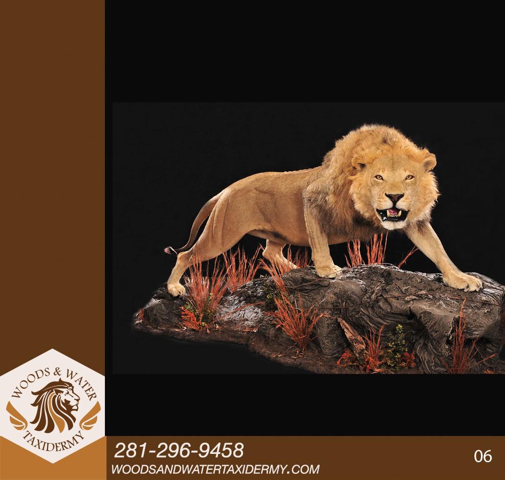 Lion06