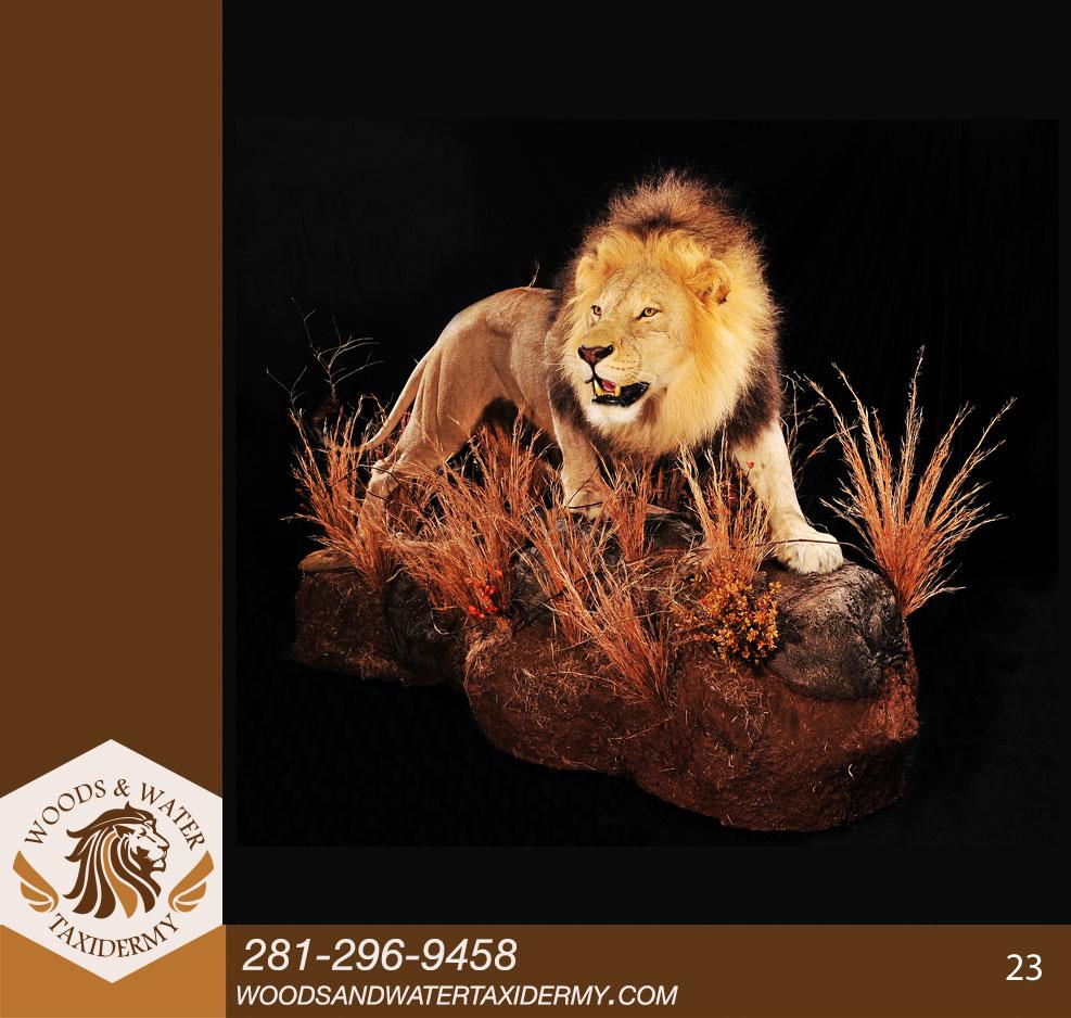 Lion23