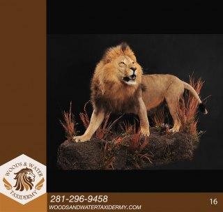Lion--16