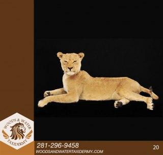 Lion20