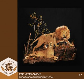 lion17
